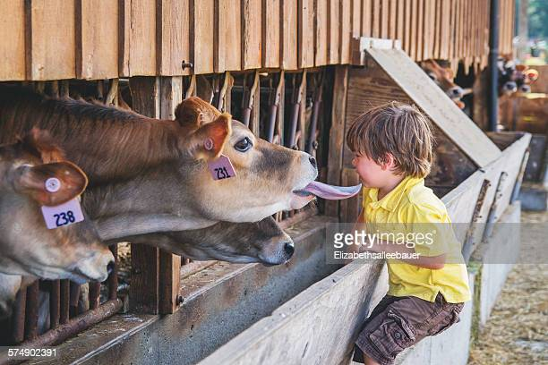 Boy looking at cows in stalls