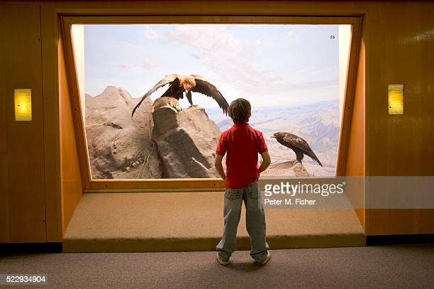 Boy Looking at Mounted Golden Eagles in Museum Exhibit