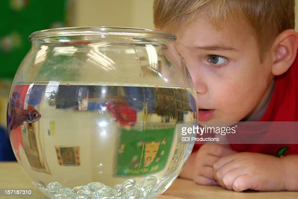 Boy Looking Closely at Classroom Fish in Fishbowl