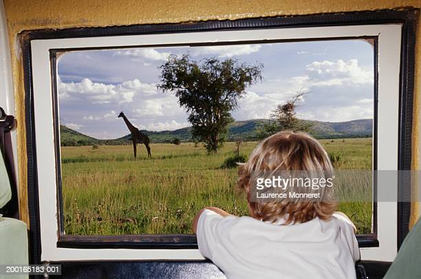 boy (5-7) looking out window at giraffe, rear view - white giraffe stock pictures, royalty-free photos & images