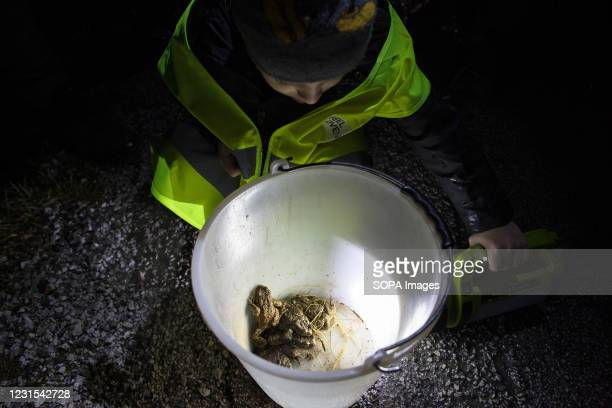 Boy looks at a bucket full of toads that are ready to be carried across the road during an action for protection of migrating amphibians. The...