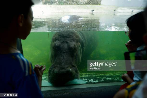 A boy looks at a female hippopotamus named ''Mali'' which means Jasmine at Dusit Zoo in Bangkok Thailand 30 September 2018 Dusit Zoo is Thailand's...