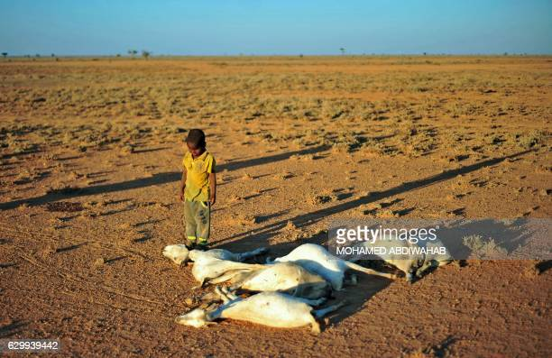 A boy looks at a flock of dead goats in a dry land close to Dhahar in Puntland northeastern Somalia on December 15 2016 Drought in the region has...