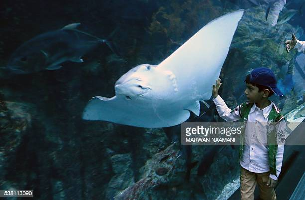 A boy looks at a stingray in a viewing tunnel at the aquarium at the Dubai Mall on June 1 2016 in the Gulf emirate of Dubai As if its opulent massive...