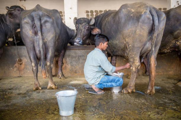 Boy milking buffalo