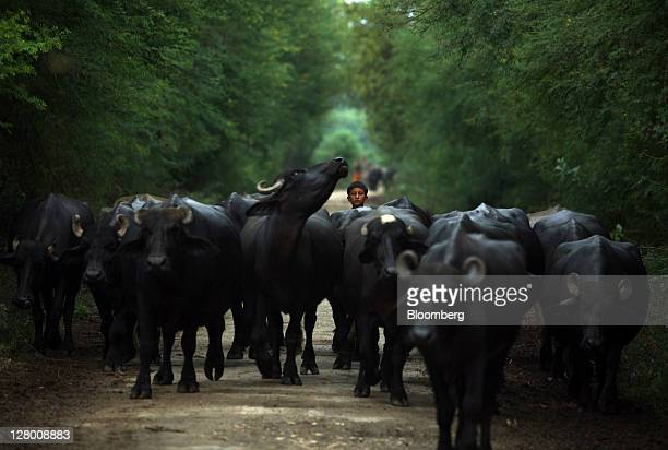 A boy moves a herd of buffaloes in Jiandal Kot village in Matiari Pakistan on Wednesday Sept 7 2011 Unilever and Nestle SA are defying turmoil in...