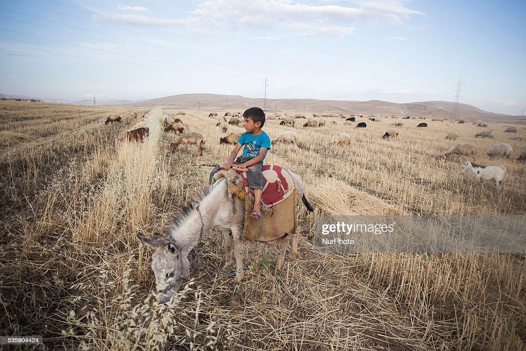 Boy name Mohseen graze sheeps in Kurdistan, close to Sharya city. 30 May, 2016, Sharya, Kurdistan