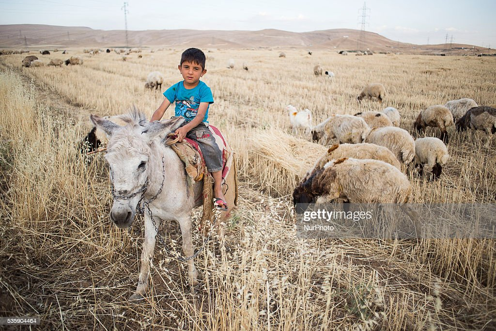 Boy name Mohseen graze sheeps in Kurdistan, close to Sharya city. 30 May, 2016, Sharya, Kurdistan