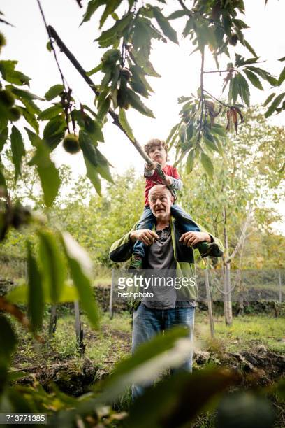 boy on mans shoulders poking chestnut tree with pole in vineyard woods - heshphoto stock pictures, royalty-free photos & images