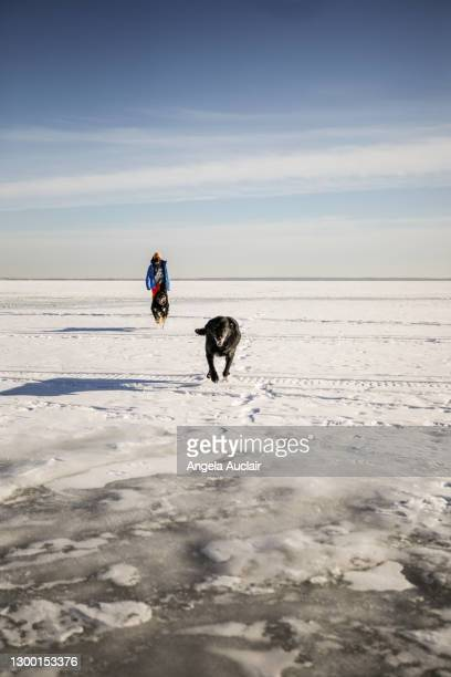 boy on winter lake with dogs - angela auclair stock pictures, royalty-free photos & images