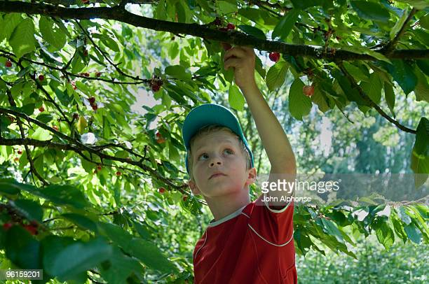 boy picking cherries from tree - morhange photos et images de collection