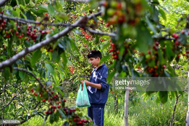 A boy picking cherries in the orchard on the outskirts of Srinagar The harvesting of mouthwatering and delicious cherry fruit crop are in full swing...