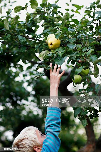 boy picking fruit from tree - reaching stock photos and pictures