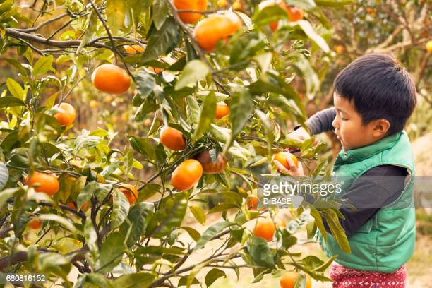 boy picking oranges. - orange grove stock photos and pictures