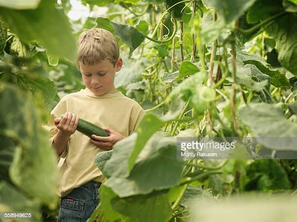 Boy picking organic cucumbers in poly tunnel