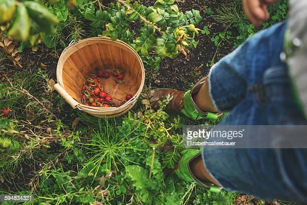 Boy picking rosehips