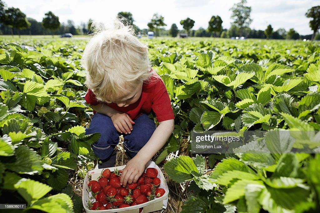Boy picking strawberries in field