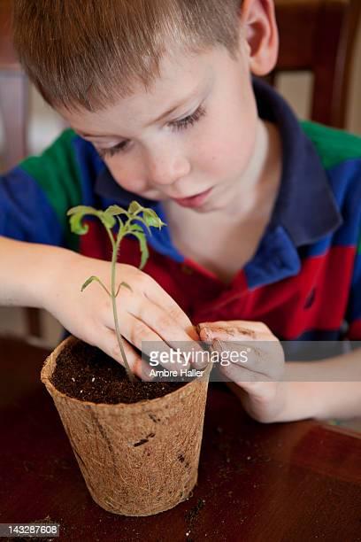 Boy planting tomato plant in pot