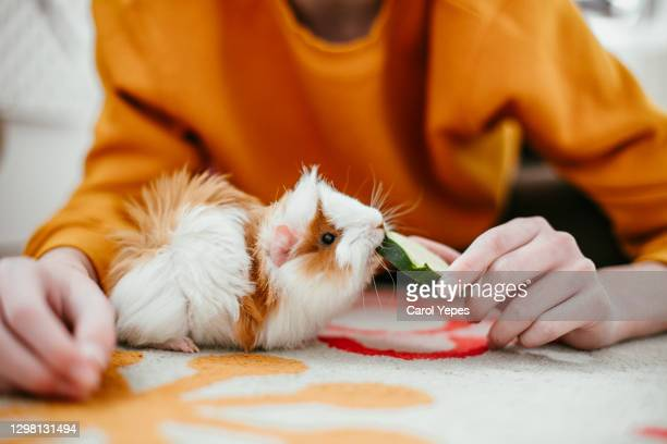 boy playing and feeding guinea pig at home - pets stock pictures, royalty-free photos & images
