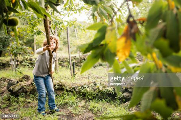 boy poking chestnut tree with pole in vineyard woods - heshphoto - fotografias e filmes do acervo