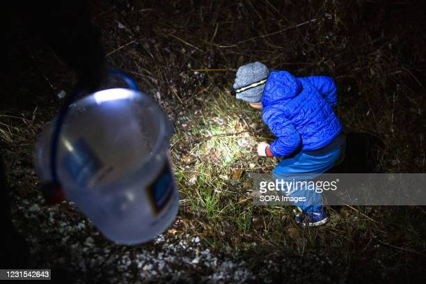 Boy prepares to pick up a migrating toad by the side of the road in Kranj, to carry it across the road during an action for protection of migrating...