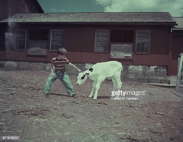 boy pulling calf  - vertebrato foto e immagini stock
