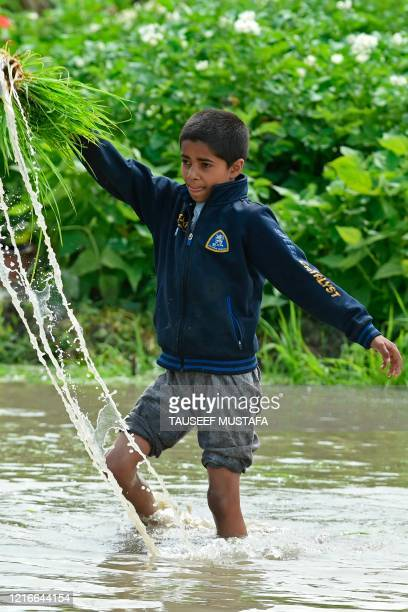 Boy pulls out paddy saplings before transplanting them in a water-logged rice field on the outskirts of Srinagar on June 1, 2020.