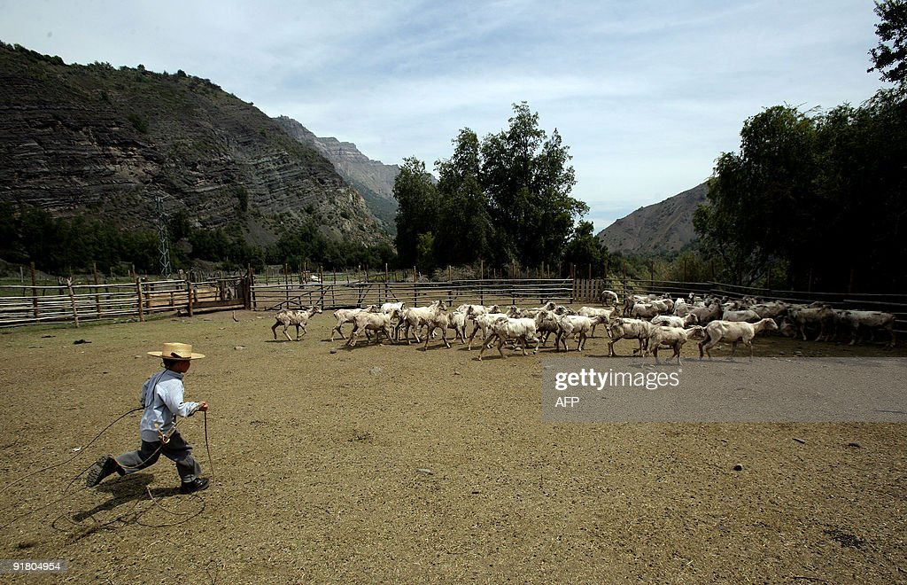 A boy runs to catch a sheep during a traditional shearing