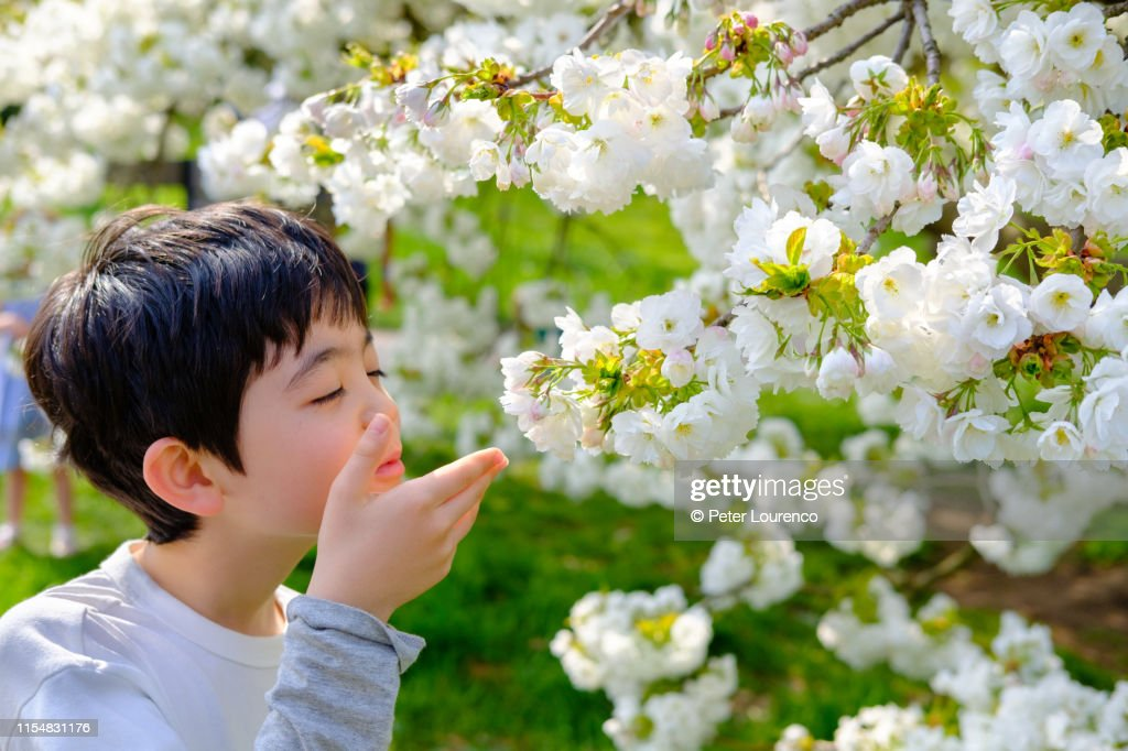 Boy smelling cherry blossom : Stock Photo