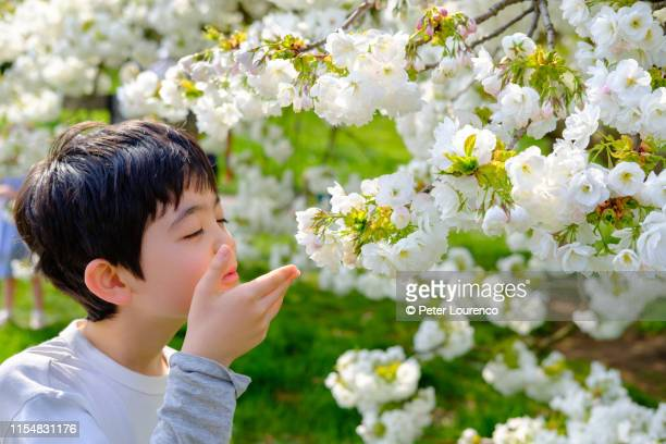 boy smelling cherry blossom - peter lourenco stock pictures, royalty-free photos & images