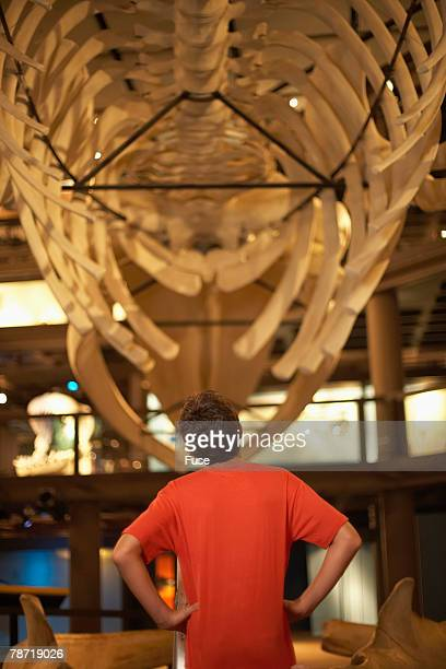 boy standing under a whale exhibit - animal skeleton stock photos and pictures