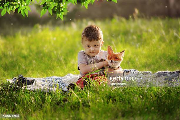 boy stroking a real baby vixen , red fox (vulpes vulpes) - tame stock photos and pictures