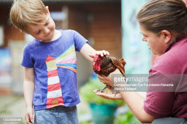 boy touching chicken in urban farm - compassionate eye foundation stock pictures, royalty-free photos & images