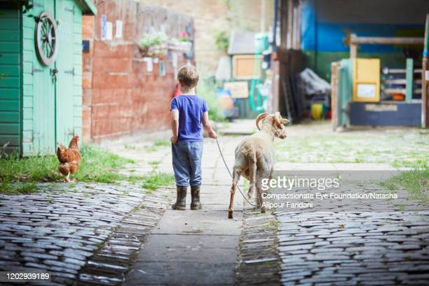 boy walking goat in urban farm - photography stock pictures, royalty-free photos & images