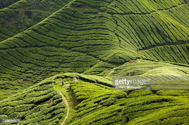 boy walking in sungai palas tea estate on slopes of gunung brinchang in the the cameron highlands. - cameron young stock photos and pictures
