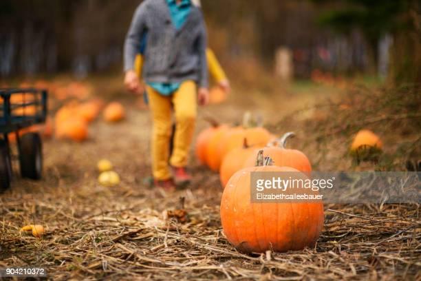 boy walking through a pumpkin patch - pumpkin patch stock photos and pictures