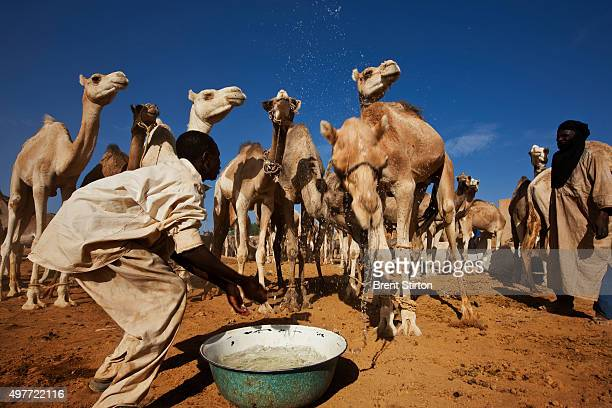 A boy washes in front of camels for sale at the Agadez market on September 29 2009 in Niger He chases the camels back by throwing water at them