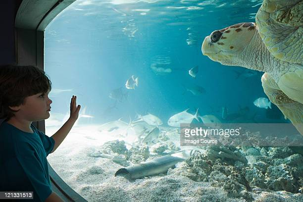 Boy watching sea turtle in aquarium