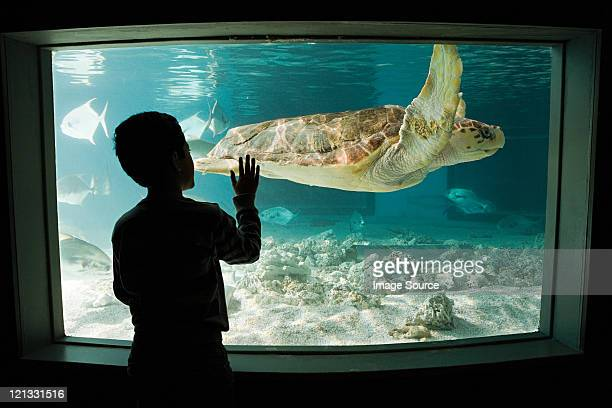 boy watching sea turtle in aquarium - connecticut stock pictures, royalty-free photos & images