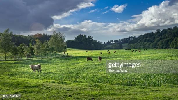 boyne valley landscape with cattle - pascolo foto e immagini stock