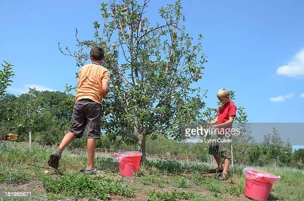 boys picking apples - obstbaum stock-fotos und bilder