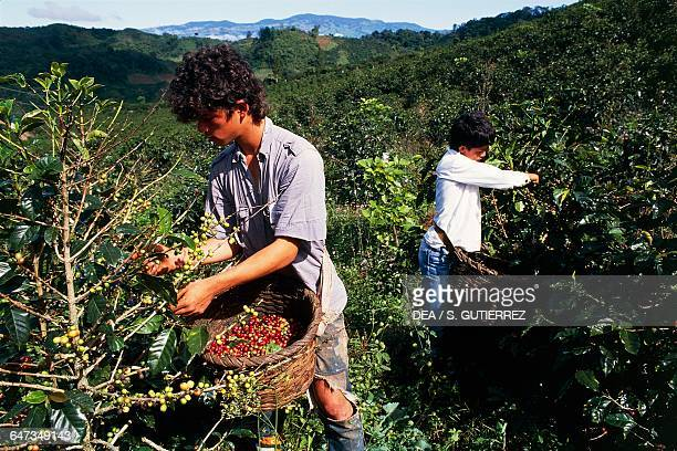 Boys picking coffee beans Central valley Orosi valley Costa Rica