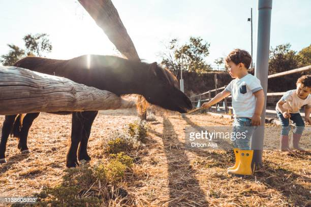 boys playing with a pony at farm - zoo stock pictures, royalty-free photos & images