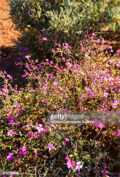 brachina gorge in the spring, flinders ranges, south australia. - semiarid stock-fotos und bilder