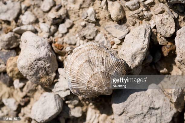 brachiopod, atrypa independensis, fósil - parque nacional fotografías e imágenes de stock
