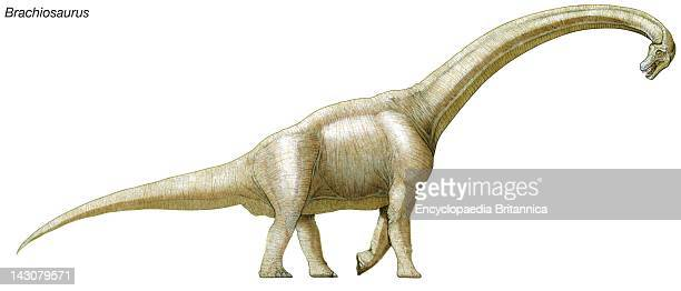 Brachiosaurus Late Jurassic To Early Cretaceous Dinosaur One Of The Largest Heaviest And Tallest Dinosaurs