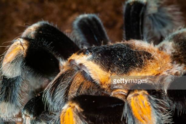Brachypelma hamorii – Mexican redknee tarantula spider