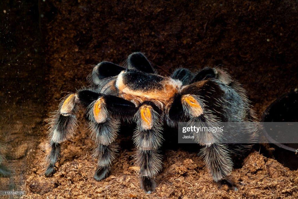 Brachypelma hamorii – Mexican redknee tarantula spider : Stock Photo