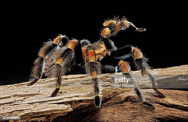 Brachypelma smithi (Mexican red-knee tarantula)