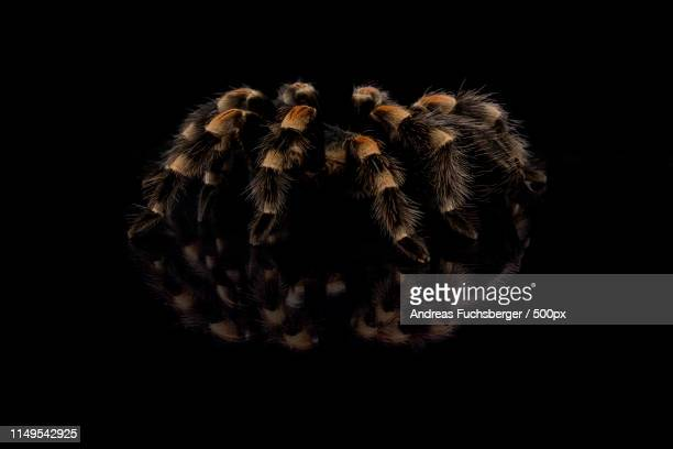 Brachypelma smithi spider against black background